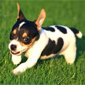 Jack-Rat Terrier (Designer Dog)