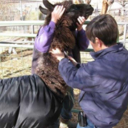 Discussions on Reproduction in New World Camelids - Pt 1