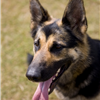 At just two-and-a-half-years-old, Police dog Anya was stabbed in the chest while defending her handler, PC Neil Sampson, from a knife-wielding attacker in January 2008. PC Sampson, was stabbed seven times during the attack.