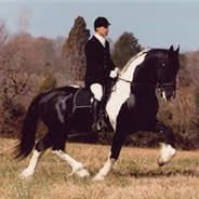 Friesian Cross