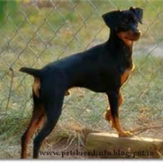 American Rat Pinscher (Designer Dog)