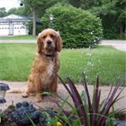 Golden Cocker Retriever (Designer Dog)