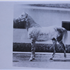 Serifh (Raseyn x Rifdah) grey stallion, foaled March 12, 1940