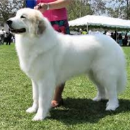 Golden Pyrenees (Designer Dog)