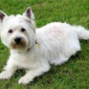 West of Argyll Terrier (Designer Dog)