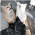 Friendly Foxes' Genes Offer Hints to How Dogs Became Domesticated