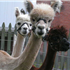 Alpaca vs Llama, What are the Differences??