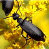 Blister Beetles in many colors and shapes!