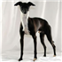 The Italian Greyhound is found in a wide array of colors and markings.