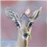 11 Delightful Facts About Dik-Diks That Will Make Them Your New Favorite Animal