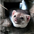 Lyme Disease's Worst Enemy? It Might Be Foxes and Ferrets