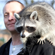How to Care for a Pet Raccoon