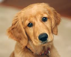 Golden Retriever - #3 Favorite Breed | Pedegru