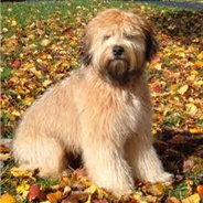 Soft Coated Golden (Designer Dog)