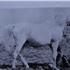 Ralouma (Raseyn x Malouma) grey mare, foaled February 28, 1935bred by W.K. Kellogg Institute