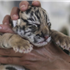 A tiger cub being cared for at a wildlife park in Kunming, Yunnan province. Animal welfare will soon be written into China's wild animal protection law. Photo: Reuters