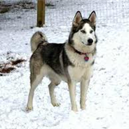 Siberian Indian Dog (Designer Dog)