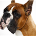 Square-jawed and muscular, the Boxer is the George Clooney of the dog world, a hunk with a sense of humor and an underlying sweetness.