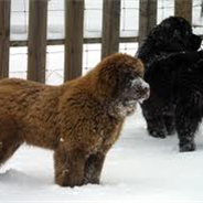 Golden Newfie (Designer Dog)