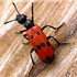 Blister Beetles - Beware!