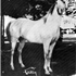Gajala was bred to *Fadl and then to *Fadl son, Fay-el-Din, when she produced the filly Gadina (who later produced the Ferzon son, Ferdine).