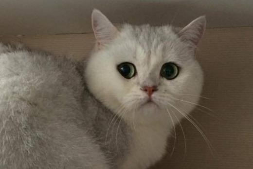 Silver Kristofer of Golden Neko | British Shorthair | Cat | Pedegru