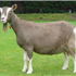 The Toggenburg, nicknamed Togg, is a breed of milk goat, named after the region in Switzerland where the breed originated, the Toggenburg valley in the Canton of St. Gallen. It is considered the oldest registered breed.