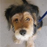 Wirelsh Terrier (Designer Dog)