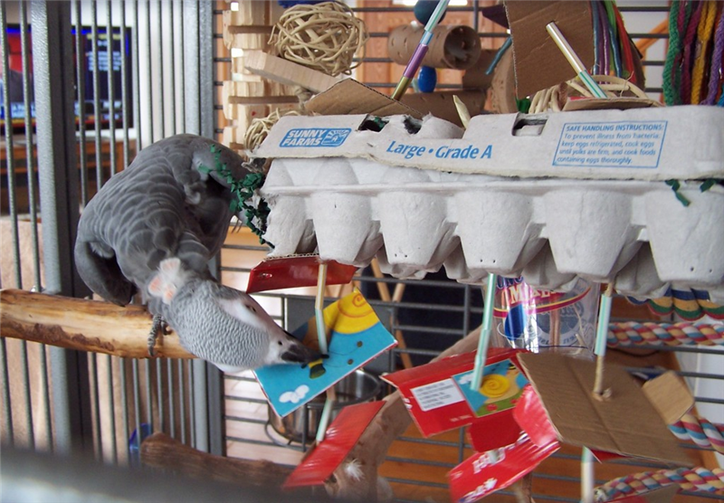 Bird Toy Outlet : Mexican parrotlet facts