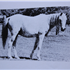*Raseyn daughters Balena and Ralouma. Ralouma was in foal to *Mirage son, Rifage, and produced Gaysar, the first purebred Arabian foal registered in Minnesota.