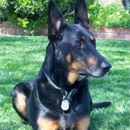 Doberman Shepherd (Designer Dog)
