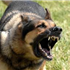 Also known as the Alsatian, the German Shepherd Dog is loyal, protective, and intelligent.