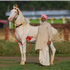 The Marwari or Malani is a rare breed of horse from the Marwar (or Jodhpur) region of India.