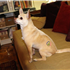 Joanie Pelzer's 'masculine' Chihuahua, Hubbell, sports a USA tattoo courtesy of Bendersky.