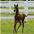 2013 Bay Colt bred by Winning Edge Arabians.