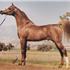 PADRON+ #175389 (Patron x Odessa, by Bright Wings) 1977 chestnut stallion; exported to the USA 1978
