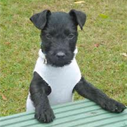 Patterland Terrier (Designer Dog)