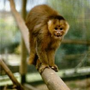 Brown Pale-fronted Capuchin