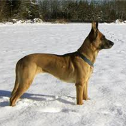 German Malinois (Designer Dogs)