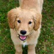 Miniature Golden Retriever (Designer Dog)