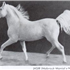 Jasir 1925 Arabian Stallion.