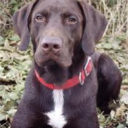 German Shorthaired Lab (Designer Dog)