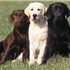 Black Lab, yellow Lab, chocolate Lab — take your pick: The sunny, smart, and hard-working Labrador Retriever is America's favorite dog.