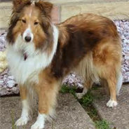 Sheltie Shepherd (Designer Dog)