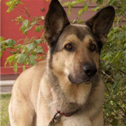 German Sheprador (Designer Dog)