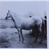 Surra (Raseyn x Zewa) grey mare, foaled December 2, 1947