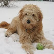 Miniature Goldendoodle (Designer Dog)