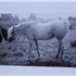 Talmia (Raseyn x Taleh) grey mare, foaled March 14, 1948bred by United States Government