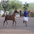 We are so proud of Tullio and wish to thank Arabian International for doing such a great job with our boy...this is just after his first week of training in preparation for Scottsdale October Show!