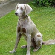 Goldmaraner (Designer Dog)